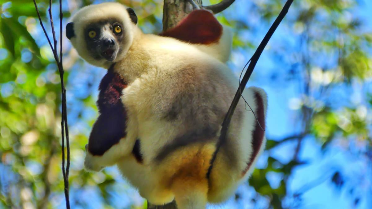 Reserva Analamazaotra / Parque nacional Andasibe-Mantadia