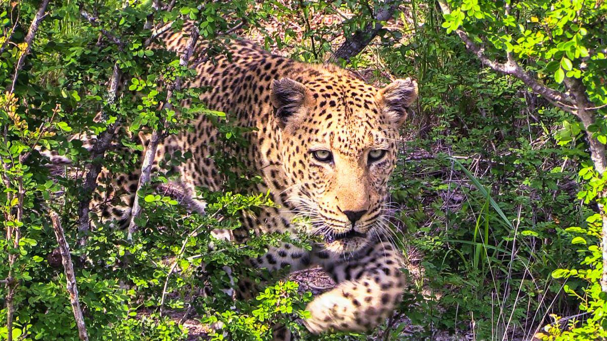 Safari en el parque nacional Kruger (Sudáfrica)