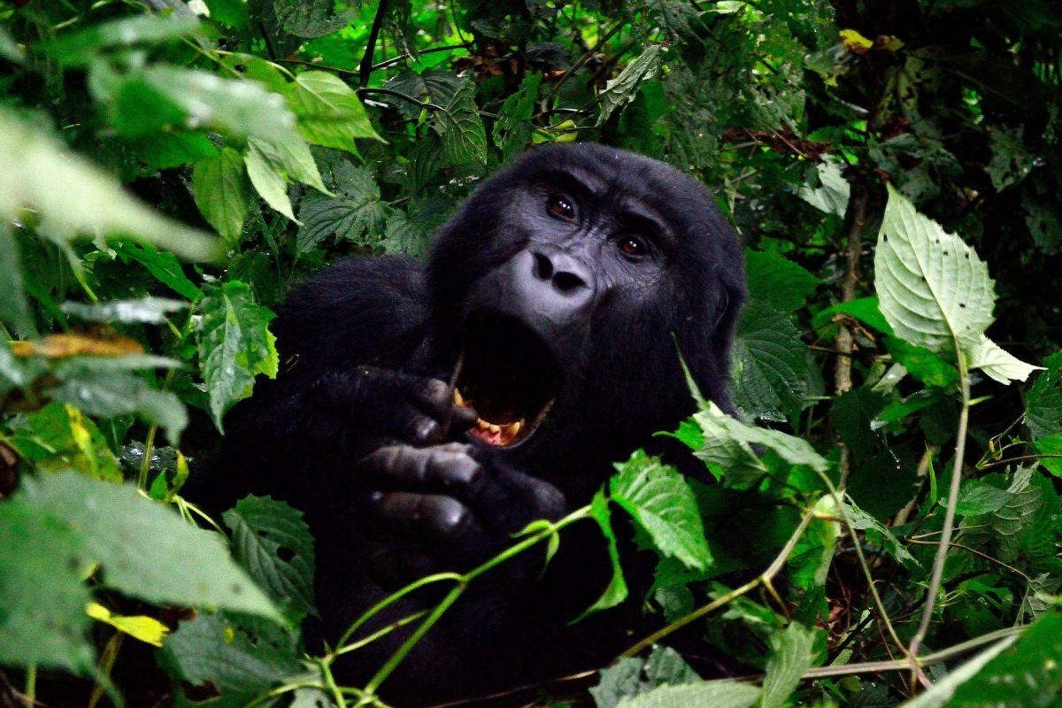 Safari en el parque Nacional de los Volcanes (Ruanda) y el Bosque de Bwindi (Uganda) para ver gorilas