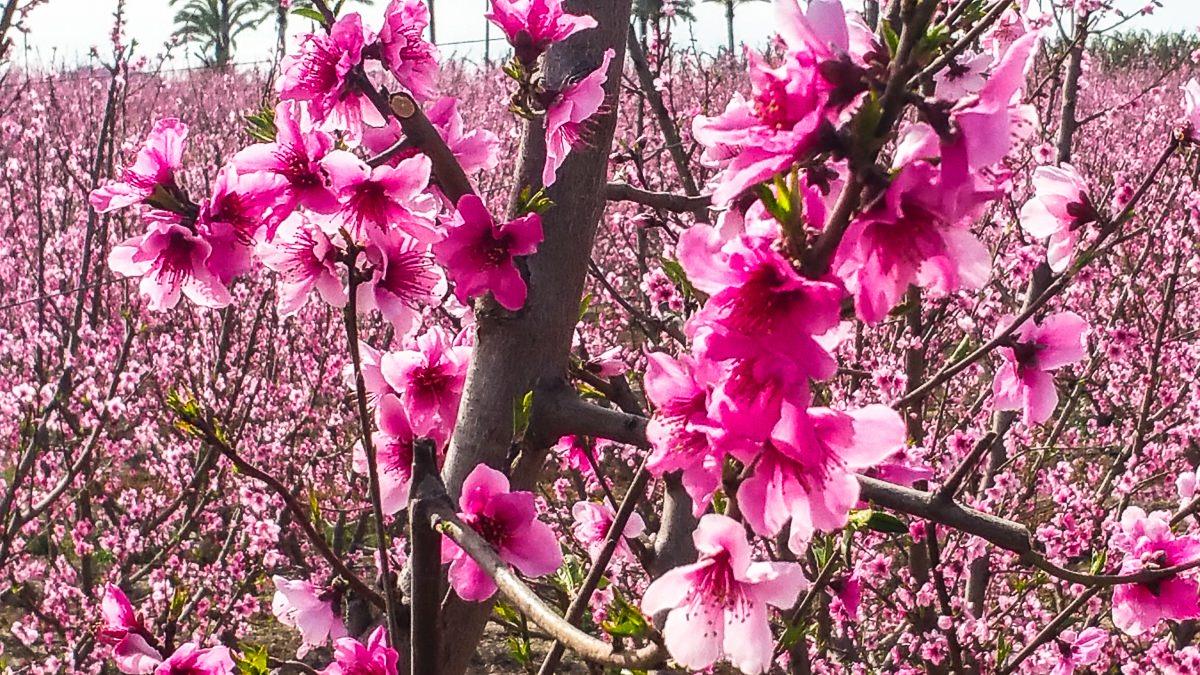La floración de los melocotoneros en Cieza