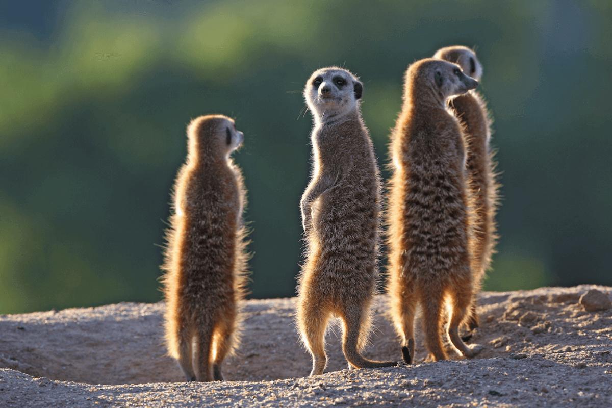 Ver suricatas