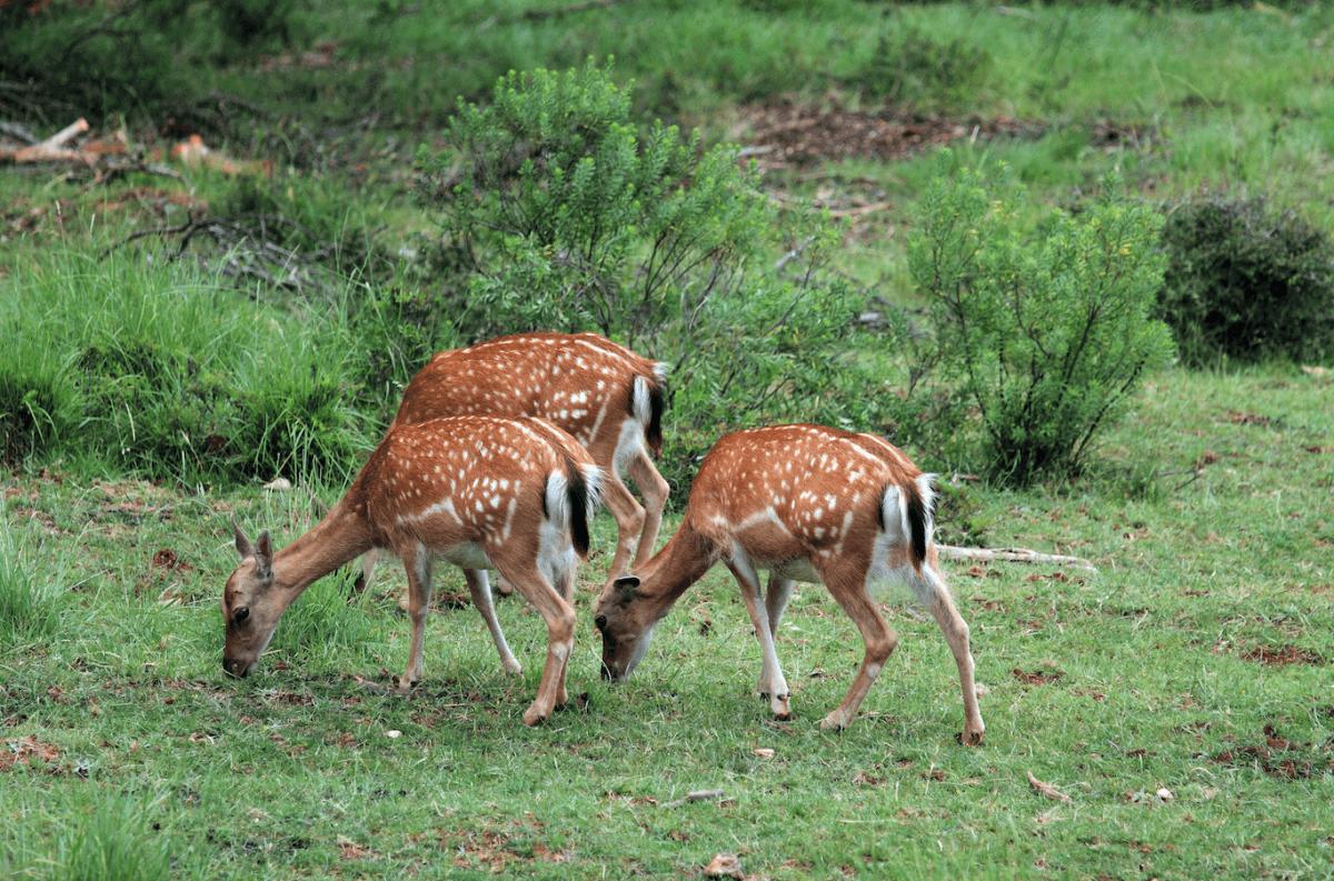 Ciervos, gamos y muflones en Cazorla