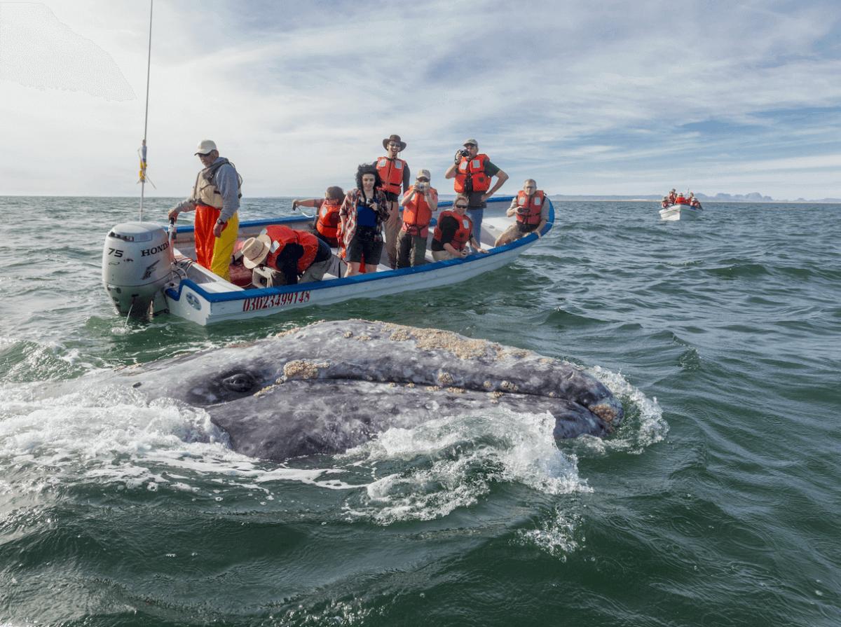 Ballenas grises y jorobadas en México