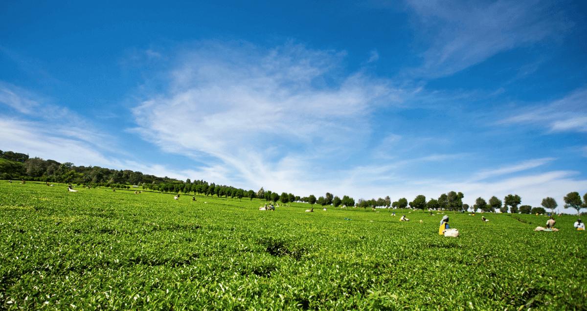 Campos de té de Kericho
