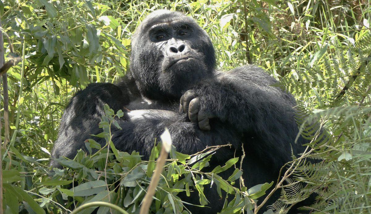 Ver los gorilas de montaña